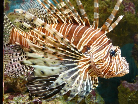 How To Hunt For Lionfish [A Beginners Guide To Lionfish Hunting]