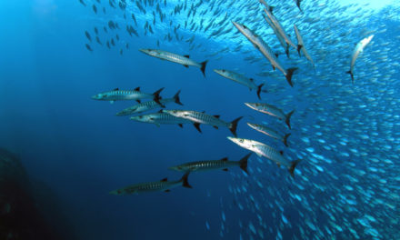 It's Wahoo Time: How To Spearfish For Wahoo