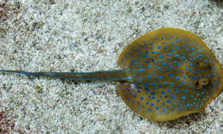 Can You Eat Stingray and How Does it Taste? – The Ultimate Guide