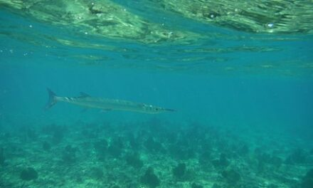 How Do You Attract Fish for Spearfishing?